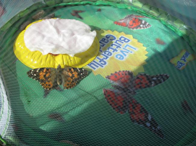 The butterflies hatched during the Easter holiday!