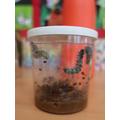 Our class caterpillars!