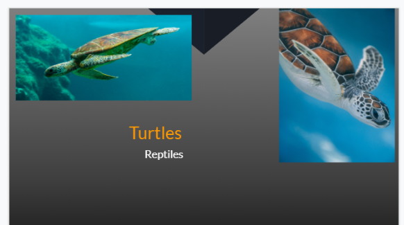 Nico researched  turtles for his  presentation.