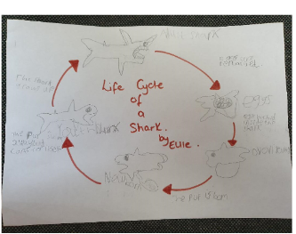 Ellie worked hard on researching and drawing an unusual lifecycle!