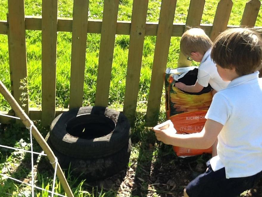 We planted potatoes...