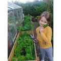 Picking cucumbers.jpg