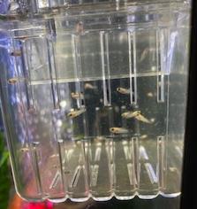 Romero's fish had babies!