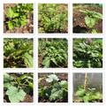 Vegetable plot progress