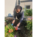 Elizabeth (Y6) planting rosemary and teaching Mrs Kermalli a thing or two about gardening!