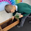 Y3 planting rosemary
