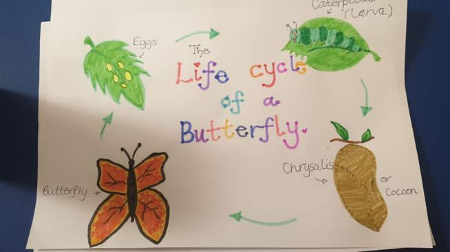 Miss Hankin has drawn the butterfly life cycle.