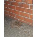 A hedgehog visited Emma :)