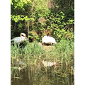 Charlie spotted some cygnets along the canal :)