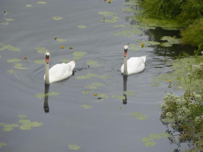 .....and some swans.