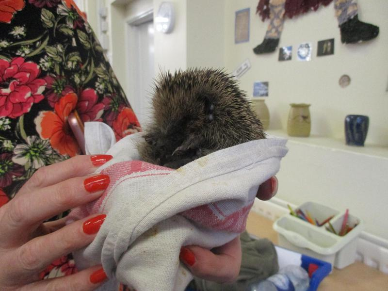 We safely re-homed this tiny hedgehog.