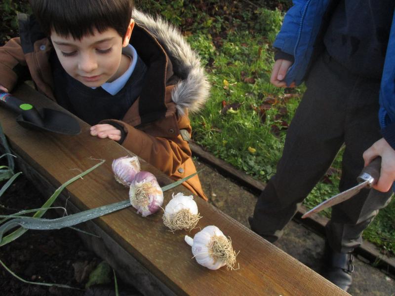Getting ready to plant Garlic
