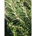 Ladybird on the rosemary.