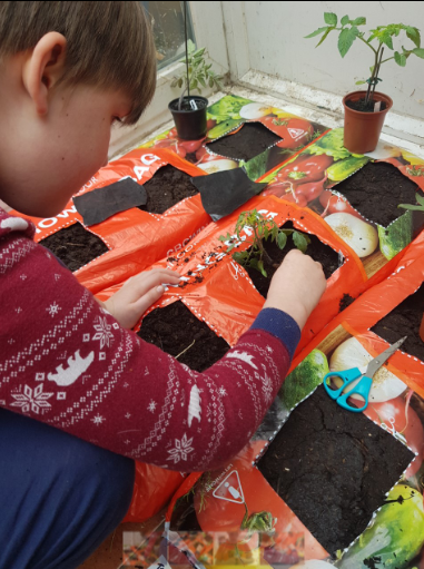 Oscar planting tomatoes.