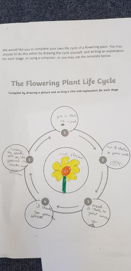 Amelie's life cycle of a plant