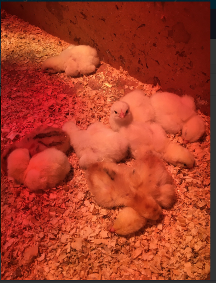 Jacob's chicks have hatched!