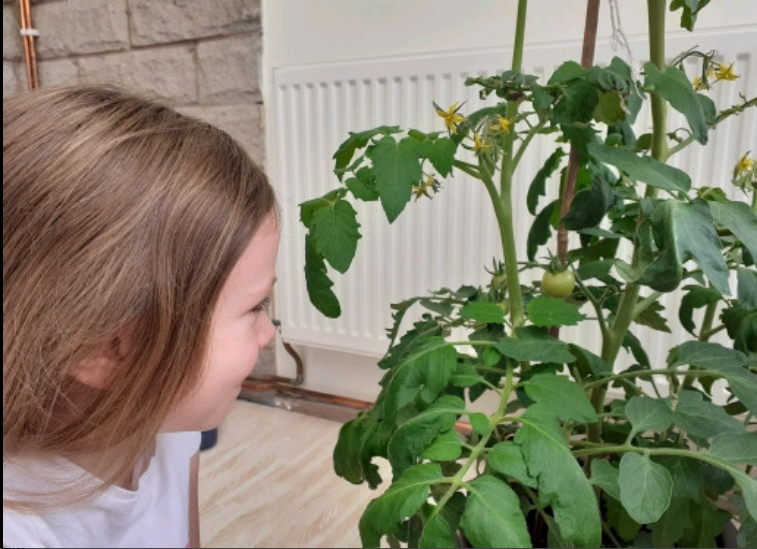 Ava has been growing her own tomatoes!