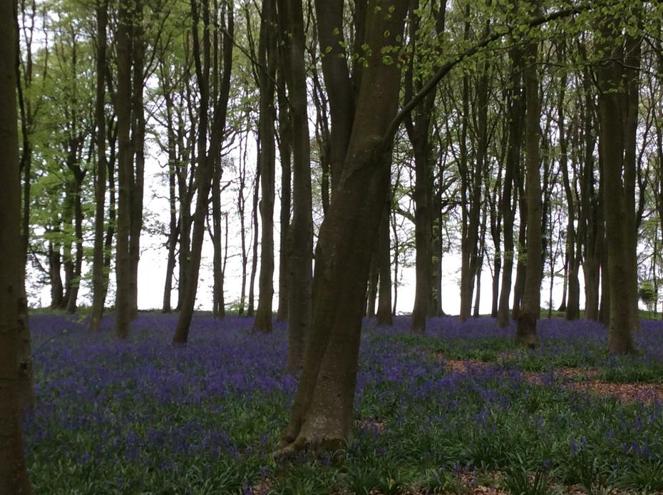 We had to be careful not to step on the bluebells