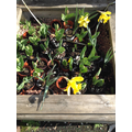 The we planted before Christmas have turned into tulips and daffodils.