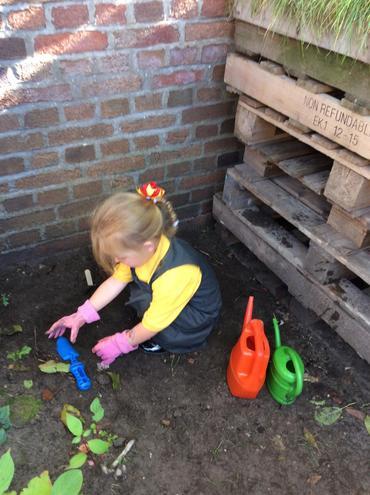 Planting daffodil bulbs in the garden.