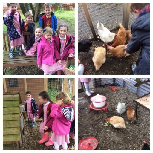 Looking after the chickens.