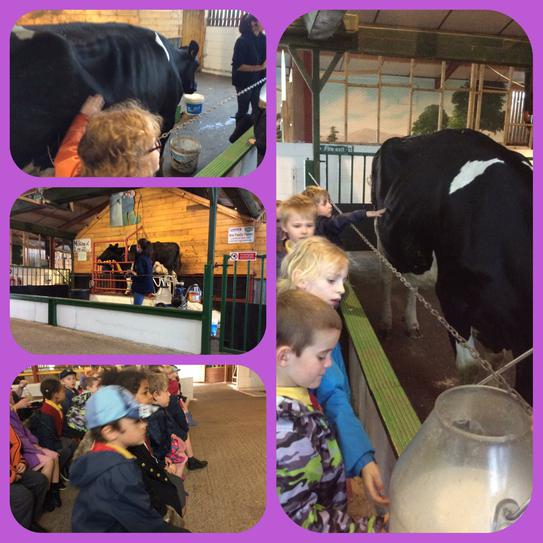 Ethel the cow being milked at Farmer Teds