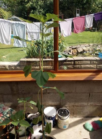 Louise's sunflower