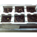 The courgettes are starting to germinate.