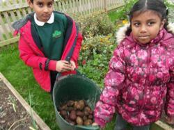 Year 3 digging potatoes - Oct 15 7