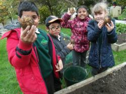 Year 3 digging potatoes - Oct 15 4