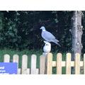 Pigeon on fence