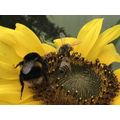 Bumble bee and honeybees