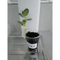 Mihit's broad bean plant