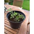 Naeem's tomato plant