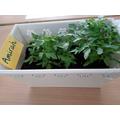 Amirah's tomoto plant has really grown!