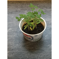 Rae'Nell's tomato plant