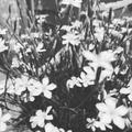 Jimmy's B&W flowers
