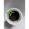 Adam's tomato plant