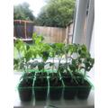 Marcel's amazing tomato plants!