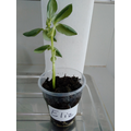 Eliz's broad bean plant