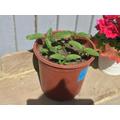 Jason's tomato plant