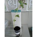 We think opal is growing a beanstalk!