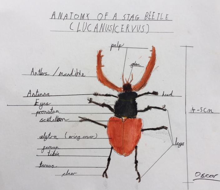 Oscar's beetle diagram