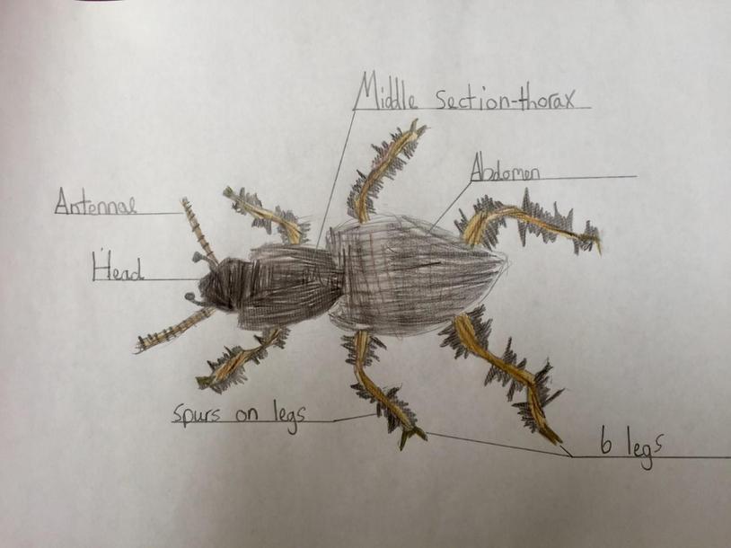 Freya's beetle