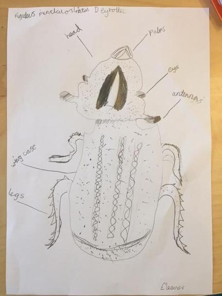 Eleanor's beetle