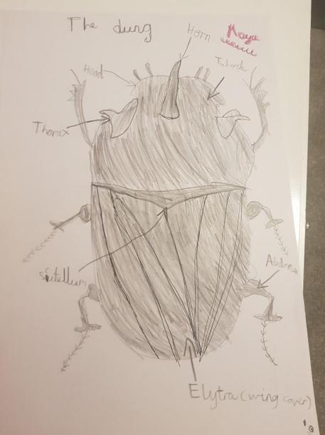 Maya's beetle diagram