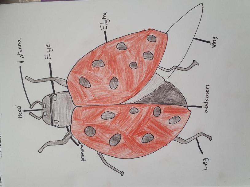 Fraser's ladybird diagram