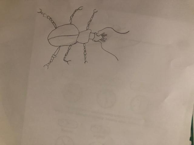 Amelia's beetle