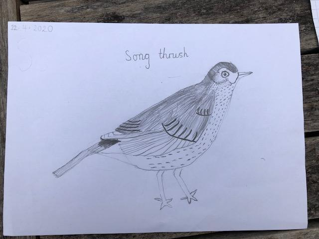 Will's excellent Song Thrush