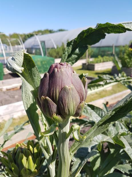 Globe artichoke growing at Dutch Farm